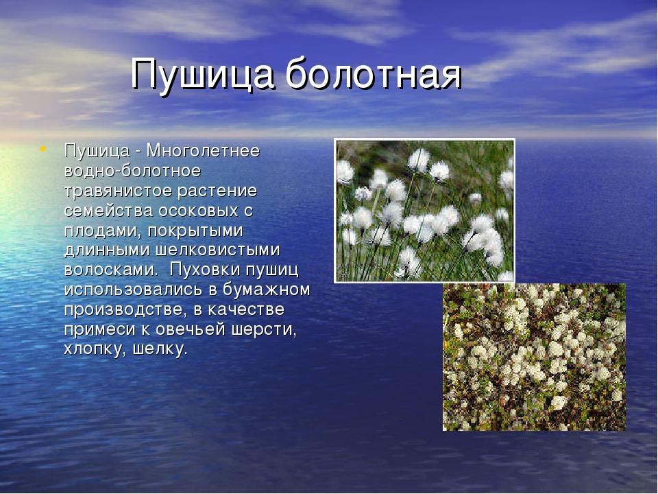 Пушица болотная Пушица - Многолетнее водно-болотное травянистоерастение сем...