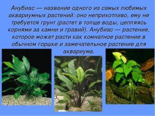 Анубиас — название одного из самых любимых аквариумных растений: оно неприхот