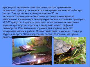 Красноухие черепахи стали довольно распространенными питомцами. Красноухие че