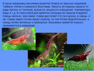 В наши аквариумы вишневая криветка попала из пресных водоёмов Тайваня, Китая