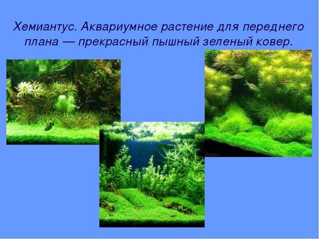 Хемиантус. Аквариумное растение для переднего плана — прекрасный пышный зелен...