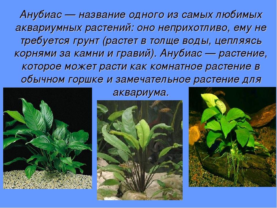 Анубиас — название одного из самых любимых аквариумных растений: оно неприхот...