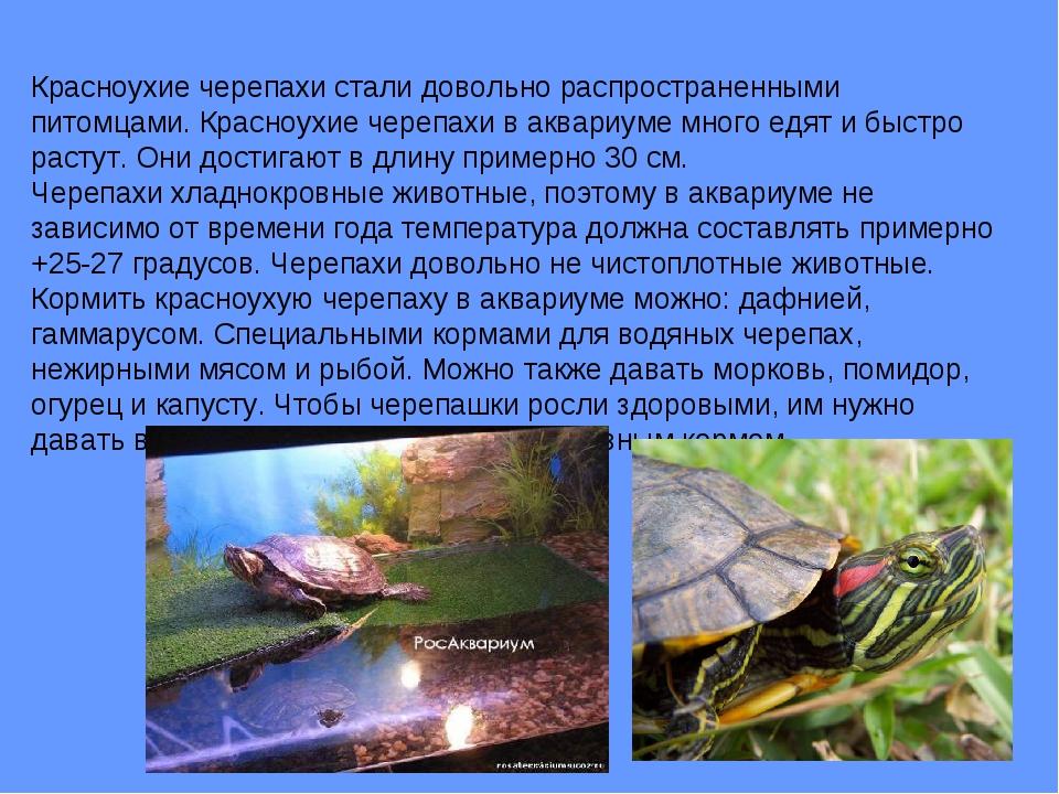 Красноухие черепахи стали довольно распространенными питомцами. Красноухие че...