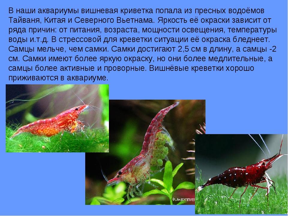 В наши аквариумы вишневая криветка попала из пресных водоёмов Тайваня, Китая...