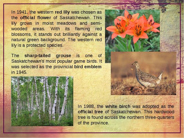 In 1941, the western red lily was chosen as the official flower of Saskatchew...