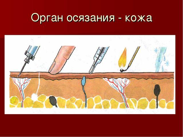 Орган осязания - кожа