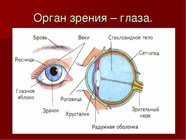 Орган зрения – глаза.