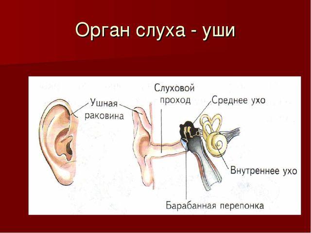 Орган слуха - уши