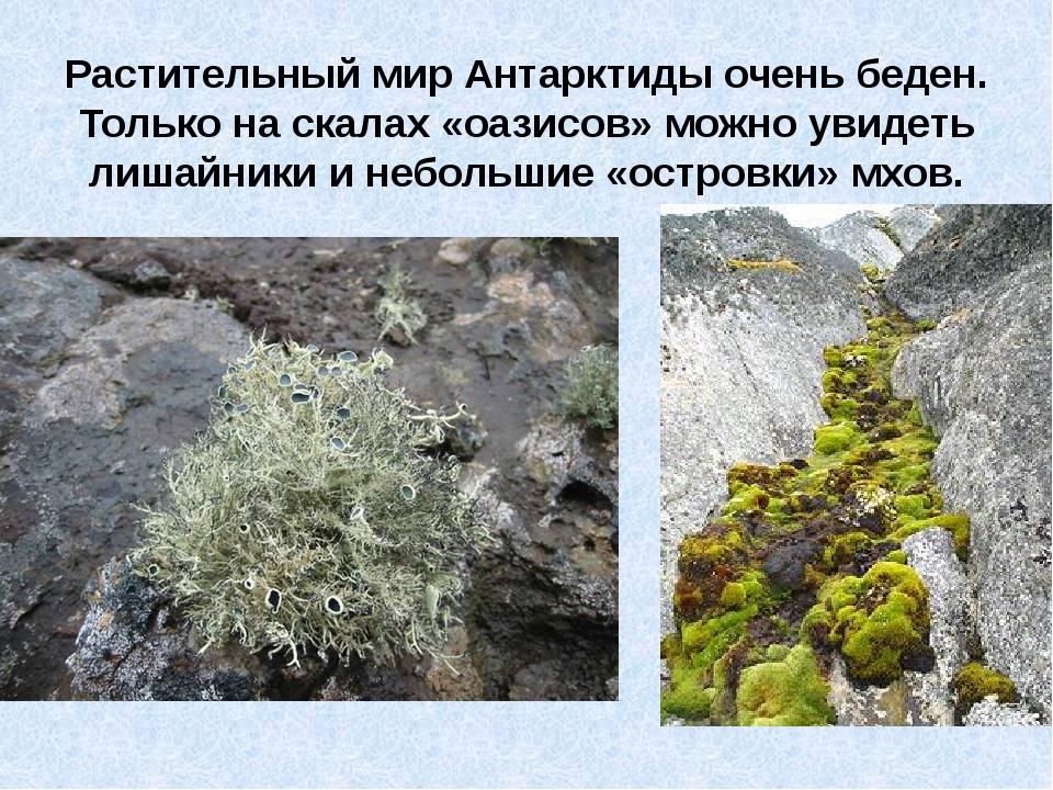 Растительный мир Антарктиды очень беден. Только на скалах «оазисов» можно ув...