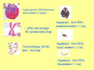 Адам денесі 500триллион жасушадан тұрады Әрбір жасушада 46 хромосома бар Гено