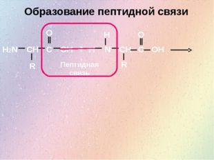 Образование пептидной связи H2N CH O OH C R N + CH R C O OH H H Пептидная связь