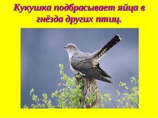 Кукушка подбрасывает яйца в гнёзда других птиц.