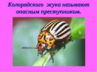 Колорадского жука называют опасным преступником.
