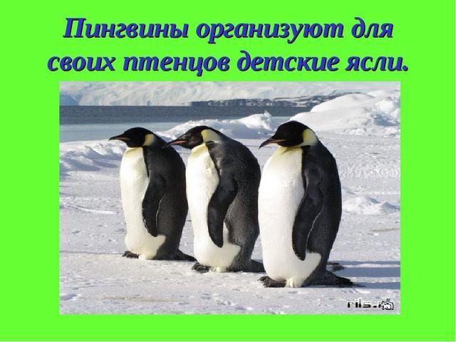Пингвины организуют для своих птенцов детские ясли.