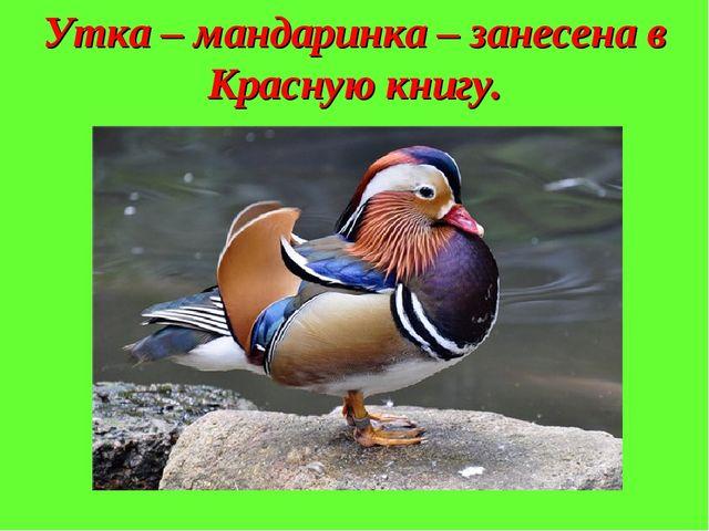 Утка – мандаринка – занесена в Красную книгу.