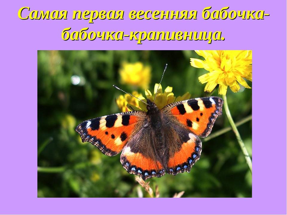 Самая первая весенняя бабочка-бабочка-крапивница.