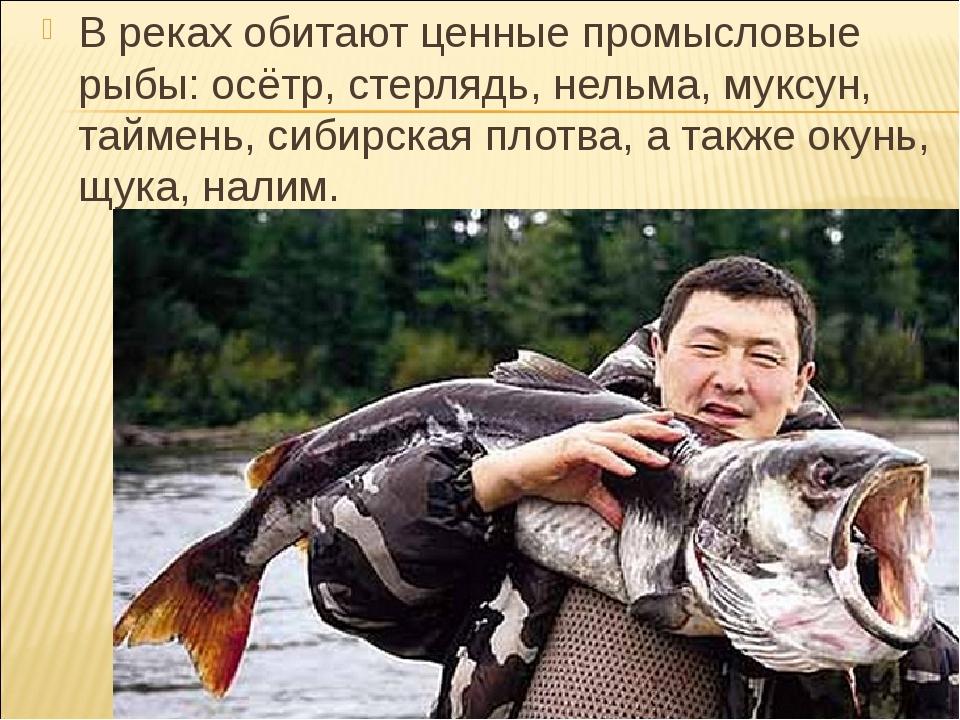 В реках обитают ценные промысловые рыбы: осётр, стерлядь, нельма, муксун, тай...