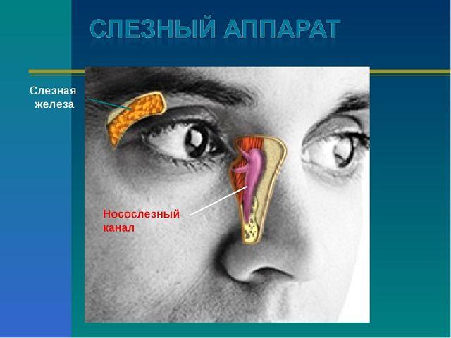 Носослезный канал Слезная железа