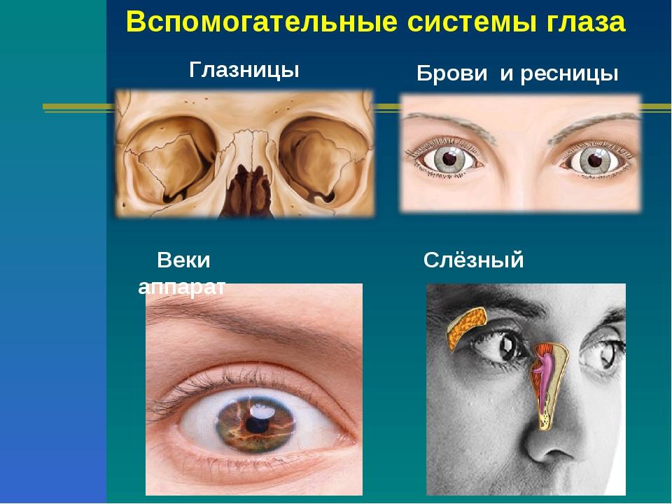Вспомогательные системы глаза Глазницы Брови и ресницы Веки Слёзный аппарат