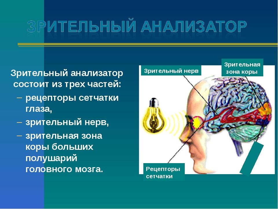 Зрительный анализатор состоит из трех частей: рецепторы сетчатки глаза, зрит...