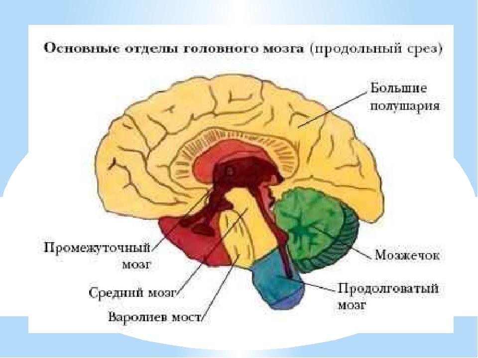 На что делится головной мозг