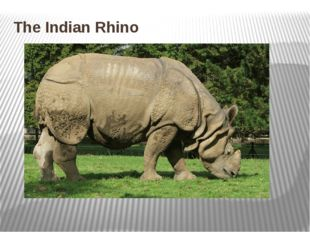 The Indian Rhino