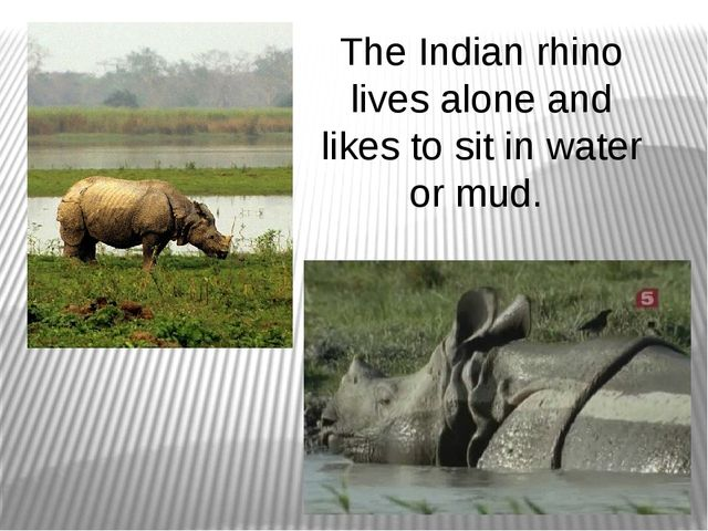 The Indian rhino lives alone and likes to sit in water or mud.
