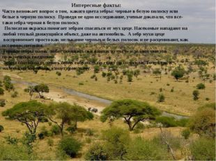 Интересные факты: Часто возникает вопрос о том, какого цвета зебры: черные в