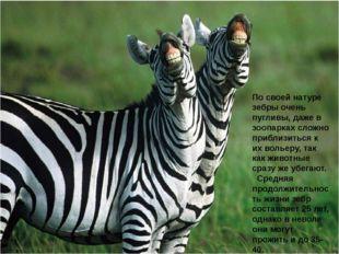 По своей натуре зебры очень пугливы, даже в зоопарках сложно приблизиться к и