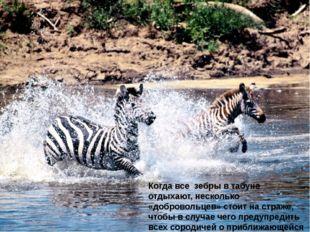 Когда все зебры в табуне отдыхают, несколько «добровольцев» стоит на страже,