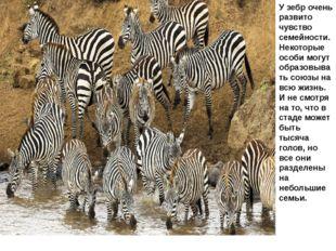 У зебр очень развито чувство семейности. Некоторые особи могут образовывать с