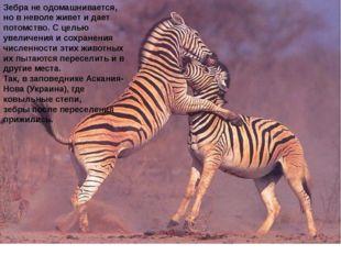 Зебране одомашнивается, но в неволе живет и дает потомство. С целью увеличен
