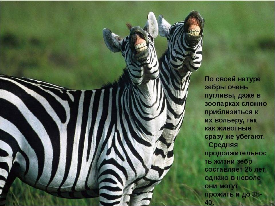 По своей натуре зебры очень пугливы, даже в зоопарках сложно приблизиться к и...