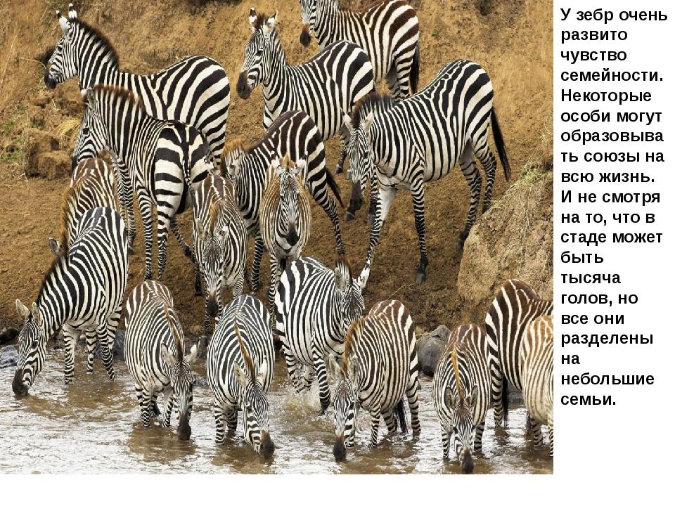 У зебр очень развито чувство семейности. Некоторые особи могут образовывать с...