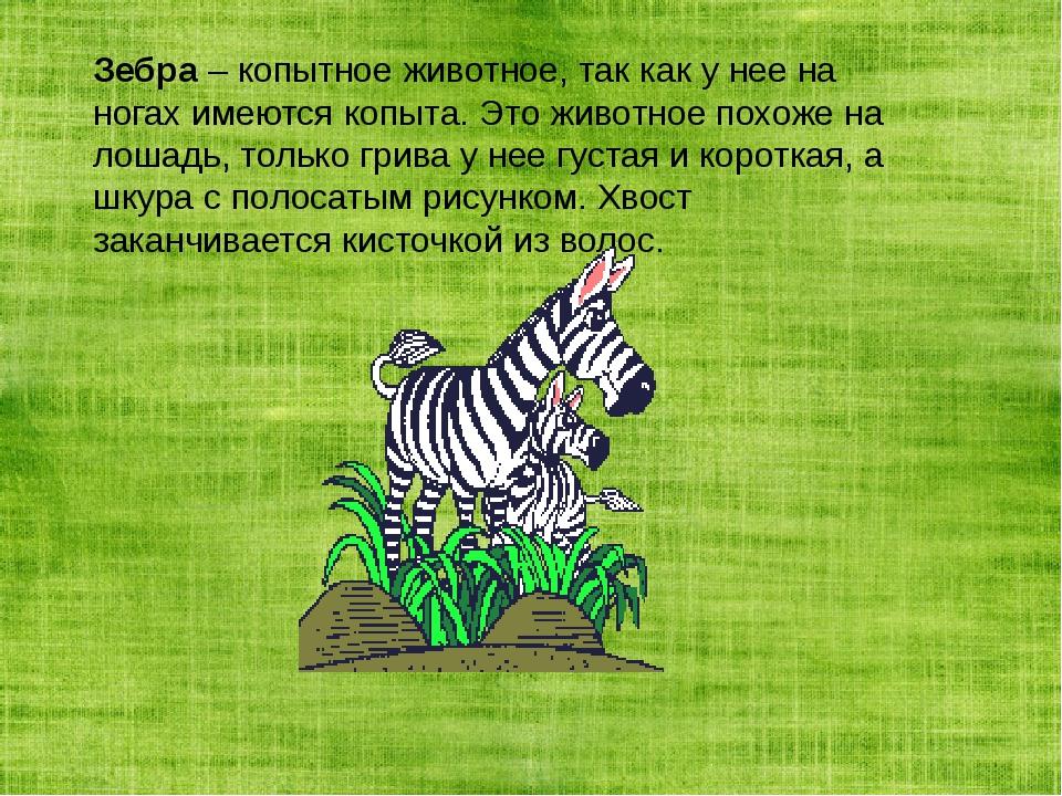 Зебра– копытное животное, так как у нее на ногах имеются копыта. Это животно...