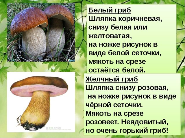 Белый гриб Шляпка коричневая, снизу белая или желтоватая, на ножке рисунок в...