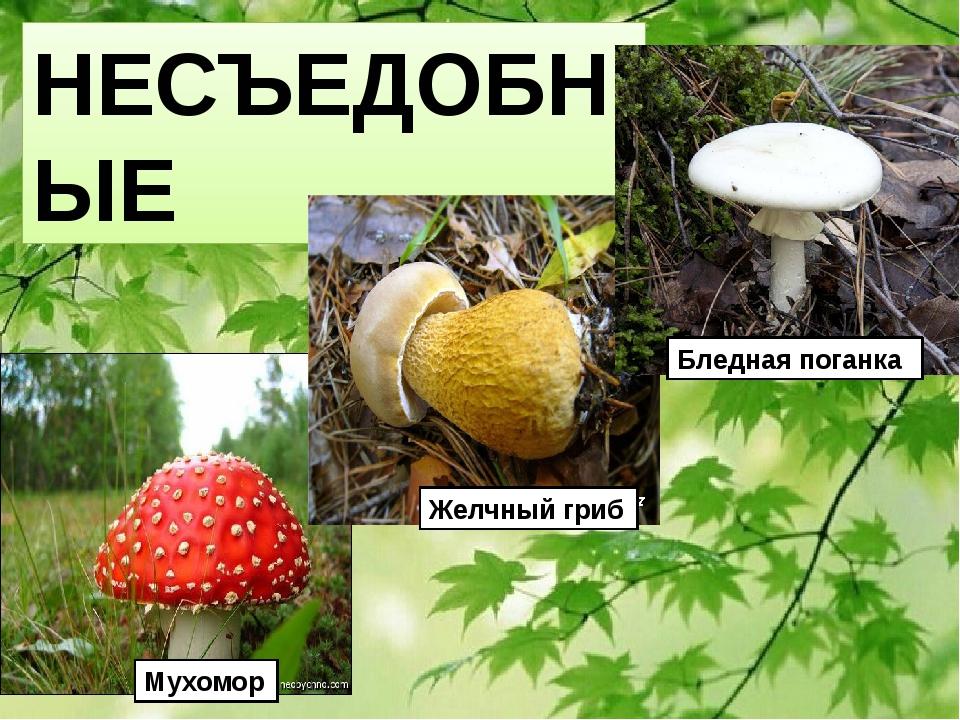 НЕСЪЕДОБНЫЕ Мухомор Желчный гриб Бледная поганка