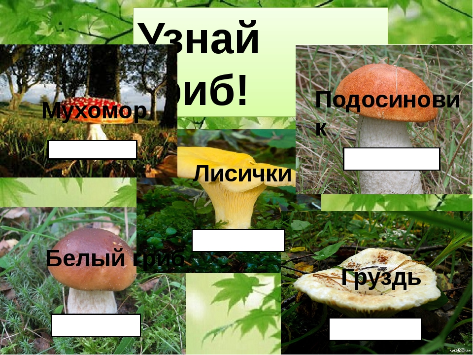 Узнай гриб! Мухомор Белый гриб Лисички Груздь Подосиновик