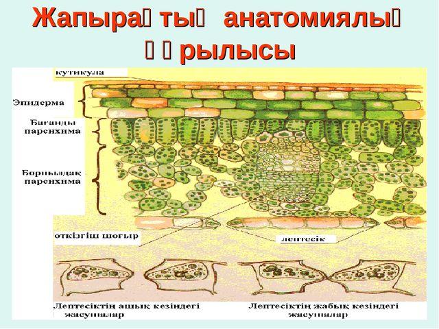 Жапырақтың анатомиялық құрылысы