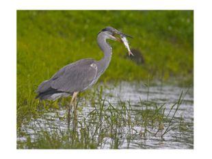 На одной ноге стоит, В воду пристально глядит. Тычет носом наугад – Ищет в ре