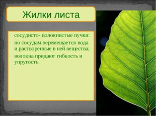 Жилки листа сосудисто- волокнистые пучки: по сосудам перемещается вода и раст