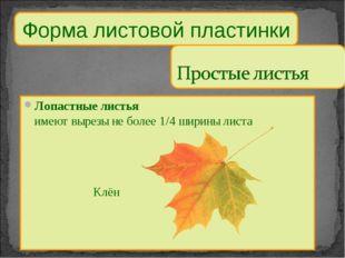 Форма листовой пластинки Лопастные листья имеют вырезы не более 1/4 ширины ли