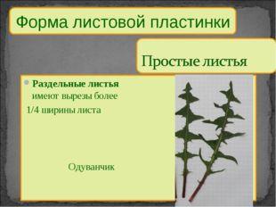 Форма листовой пластинки Раздельные листья имеют вырезы более 1/4 ширины лист
