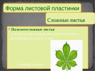 Пальчатосложные листья состоят из нескольких листовых пластинок, выходящих из