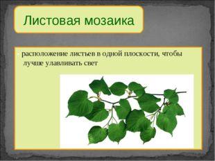 Листовая мозаика - расположение листьев в одной плоскости, чтобы лучше улавли