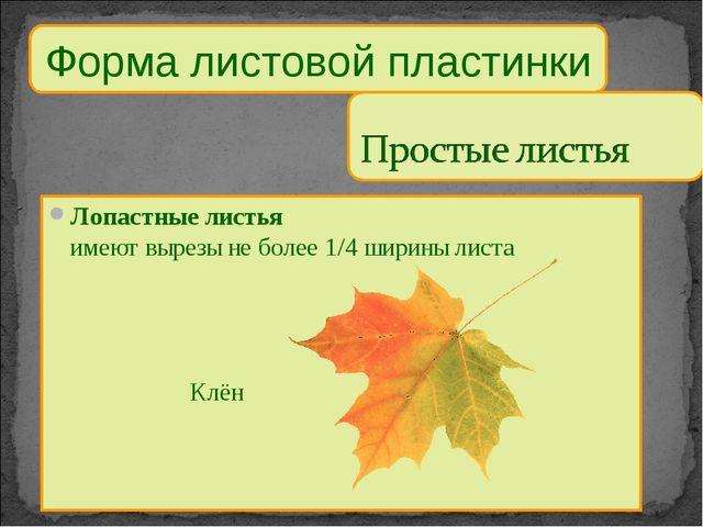 Форма листовой пластинки Лопастные листья имеют вырезы не более 1/4 ширины ли...