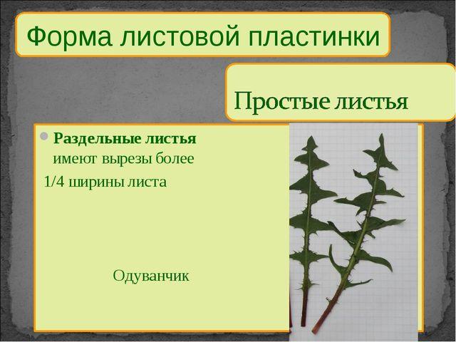 Форма листовой пластинки Раздельные листья имеют вырезы более 1/4 ширины лист...