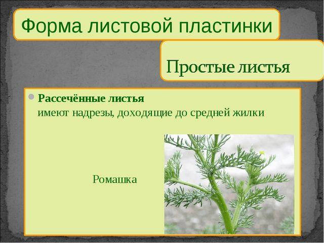 Форма листовой пластинки Рассечённые листья имеют надрезы, доходящие до средн...