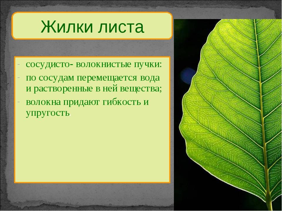 Жилки листа сосудисто- волокнистые пучки: по сосудам перемещается вода и раст...