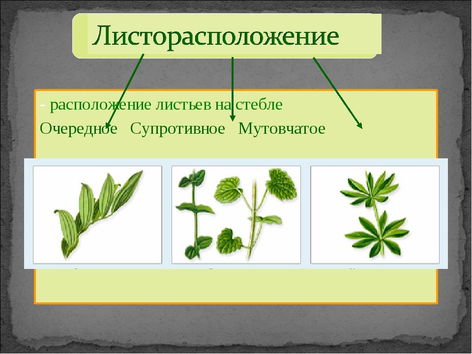 - расположение листьев на стебле Очередное Супротивное Мутовчатое